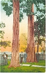 Redwoods in California  Postcard