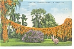 Flame Vine in Florida Postcard p11315 1913
