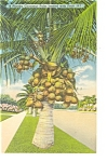 Florida Coconut Tree Loaded with Fruit Postcard p11319