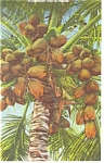 Florida Coconut Tree  with Fruit Postcard p11321