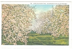 Apple Blossom Time in the Shenandoah Valley VA  Postcard p11365