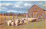 Click here to enlarge image and see more about item p1136: Sheep Ready for Shearing Postcard p1136