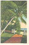 Bearing Coconut Tree Florida Postcard p11379