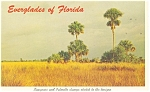 Everglades Florida Sawgrass Palmetto Clumps Postcard p11390
