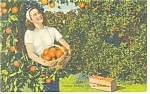 Orange Picking Time in Florida Postcard 1958