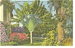 Travelers Palm in Florida Postcard p11393