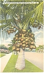 Florida Coconut Palm Loaded with Fruit Postcard p11398