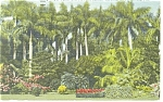 Click here to enlarge image and see more about item p11431: St Petersburg,Palms at Sunken Gardens Postcard