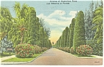 Avenue of Australian Pines Florida Postcard p11432