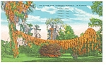 Flame Vine in Florida Postcard p11551 1933