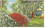 Azaleas and Live Oak Trees Florida Postcard p11560