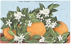 Click here to enlarge image and see more about item p11569: Orange Blossoms Fragrance of Florida Postcard p11569 1960