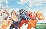 Click here to enlarge image and see more about item p11649: Five Queens Cattle Postcard