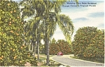 Palm Lined Orange Groves Florida  Postcard