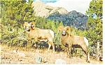 Click here to enlarge image and see more about item p11751: Rocky Mountain Sheep Postcard p11751