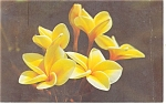 Yellow Plumeria Blossoms Postcard 1972