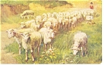 Click here to enlarge image and see more about item p11882: Flock of Sheep Divided Back Postcard 1908