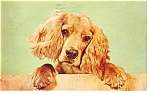 Click here to enlarge image and see more about item p12030: Cocker Spaniel Postcard p12030