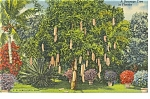 Florida A Sausage Tree in Florida Postcard p12164