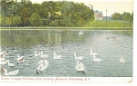 Providence RI Swans in Roger Williams Park Postcard p12222