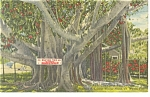 Click here to enlarge image and see more about item p12237: Edison's Banyan Tree in Florida Postcard 1955