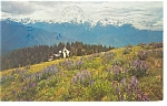 Click here to enlarge image and see more about item p12251: Olympic National Park,WA Olympic Mts Postcard