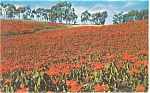 Click here to enlarge image and see more about item p12441: Field of Poinsettias in California Postcard p12441