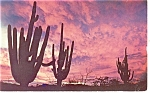 Click here to enlarge image and see more about item p12444: Saguaros in the Sunset Postcard p12444