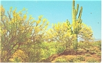 Click here to enlarge image and see more about item p12445: Palo Verde Trees Saguaro Cactus Postcard p12445