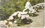 Cushion Cactus Bloom, California Postcard 1910