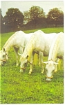 Click here to enlarge image and see more about item p12482: White Horses Grazing Postcard