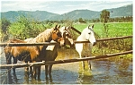 Click here to enlarge image and see more about item p12483: Three Horses At The Waterhole Postcard