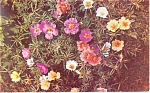 Single and Double Portulaca  Postcard 1956