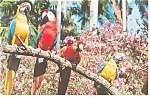Click here to enlarge image and see more about item p12519: Florida Sunken Gardens Macaws Postcard p12519
