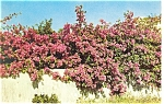 Delicately Tinted Bougainvillea Postcard p12795