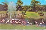 Click here to enlarge image and see more about item p12851: Flamingos  Parrot Jungle FL Postcard p12851 1957
