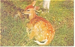 Click here to enlarge image and see more about item p12856: Fawn Lying in Grass Postcard 1978
