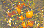 Click here to enlarge image and see more about item p12899: Blossoms and Oranges on  Orange Branch Postcard p12899