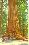 Tunnel Tree Yosemite National Park CA Postcard p12967 1966