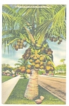Coconut Palm in Tropical Florida Postcard p13053