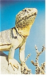 Click here to enlarge image and see more about item p13066: Collared Lizard Chicago Museum Postcard p13066