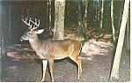 Click here to enlarge image and see more about item p13321: Great Smoky Mt Natl Park Deer Postcard p13321 1961