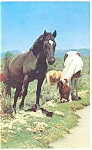 Click here to enlarge image and see more about item p13334: Herd of Horses-Grazing at a Stream's Edge Postcard