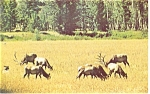 A Wyoming Elk Herd Postcard p13343