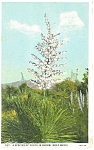 Click here to enlarge image and see more about item p13345: Yucca in Bloom (Soap Weed) Postcard 1934