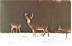 Angola IN Potawatomi Inn Postcard p13348 Herd of Deer