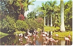 Click here to enlarge image and see more about item p13435: Flamingos Sarasota Jungle Gardens Florida Postcard 1958