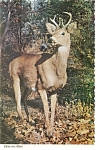 Click here to enlarge image and see more about item p13546: Deer on Alert Postcard