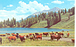 Click here to enlarge image and see more about item p13710: Cattle Herds in SD MT WY Postcard p13710