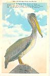 Pelican Postcard 1936